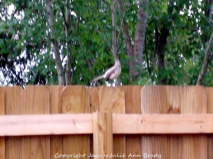 Adult Mockingbird on the Fence