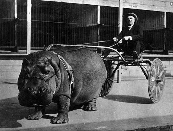Бегемот в цирке тянет телегу, 1924 г.