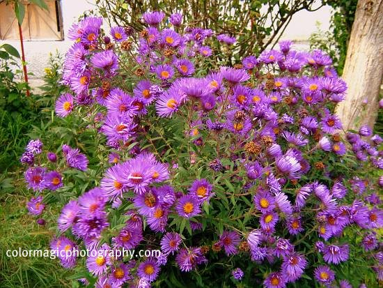 Purple asters in autumn
