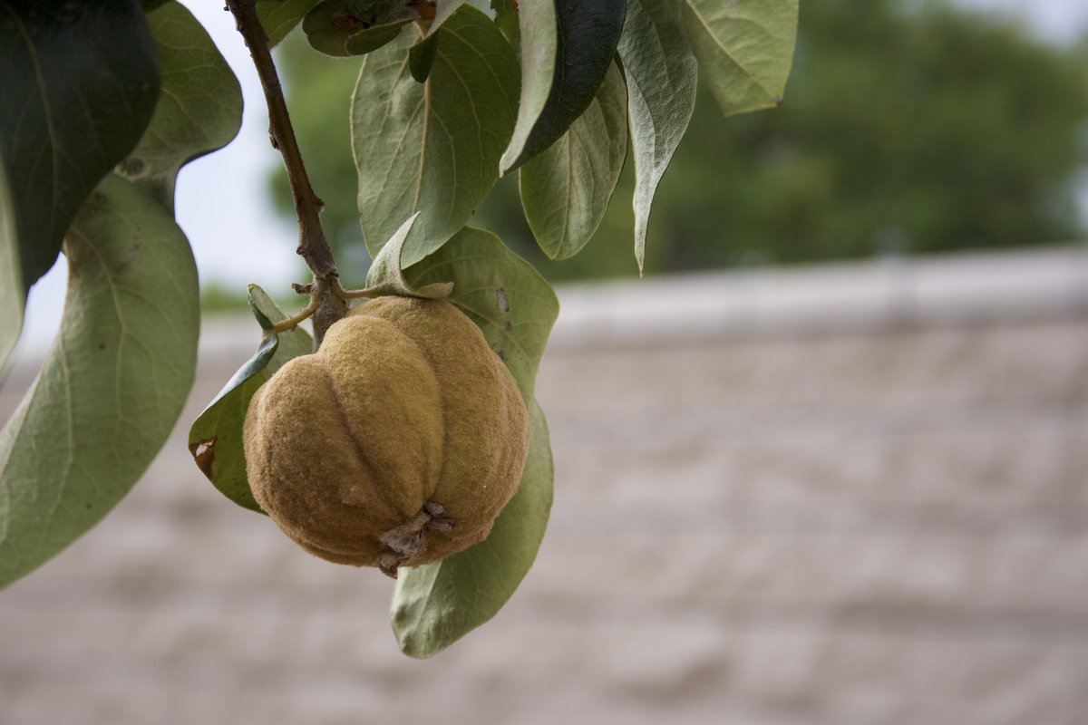 http://commons.wikimedia.org/wiki/File%3AYoung_Quince_Fruit.png