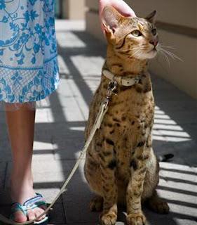Exotic Cat Pictures