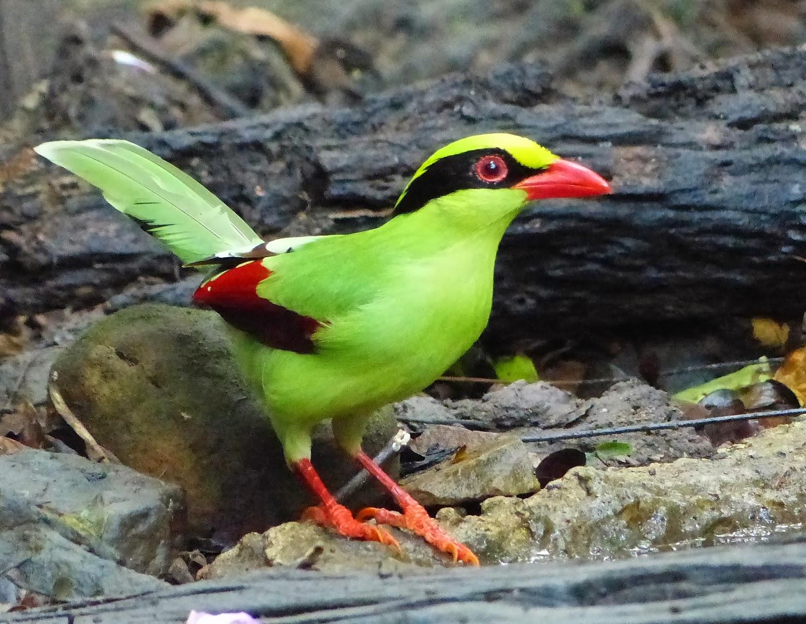 Birder always on the lookout for fine birds thailand photos