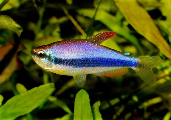 Nature lover emperor tetra for Tetra acquario