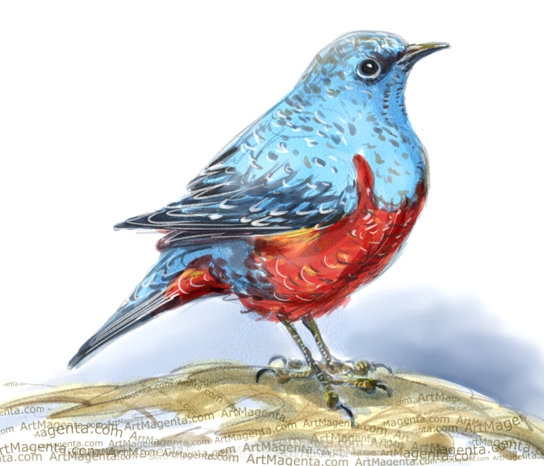 Blue rock thrush ketch painting. Bird art drawing by illustrator Artmagenta