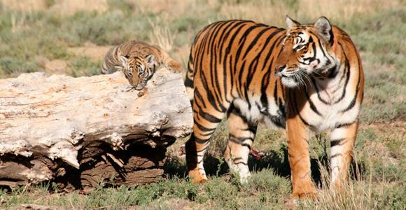 South China tiger (Panthera tigris amoyensis)