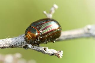 Para ampliar Chrysolina americana (Escarabajo del romero) hacer clic