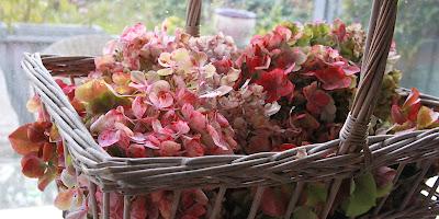 hortensia, mauve