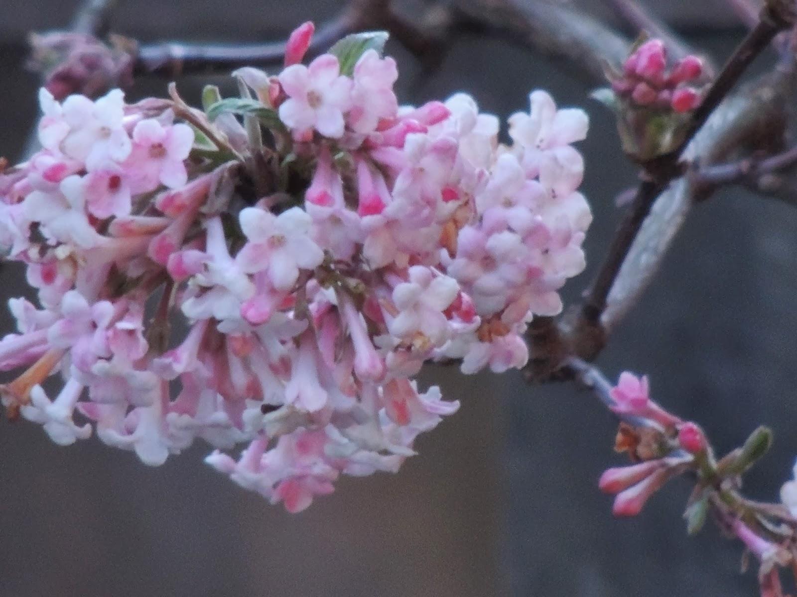 Il etait un petit jard 39 ain reveries roses - Arbuste a fleurs roses ...