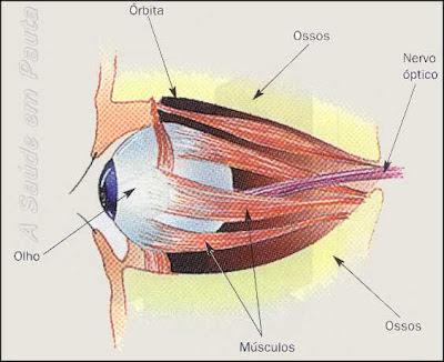 Localização do olho humano na órbita da face.