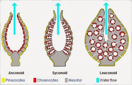 Tiga Tipe Porifera