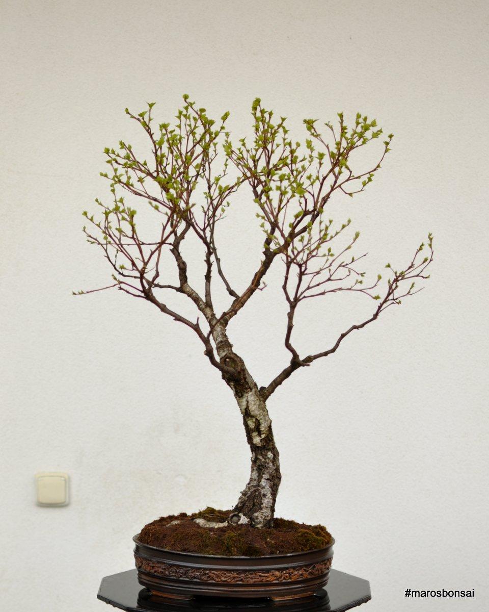 Maros Bonsai Blog Betula Pendula No1