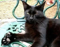Kucing American Polydactyl