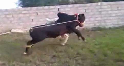 Cows Running Away Cow Run Away Video 2014 Eid ul