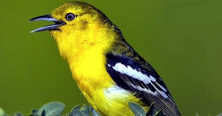 budidaya burung tips cara merawat burung cipoh cipow