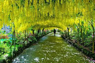 Terowongan Laburnum di Bodnant Garden, Wales