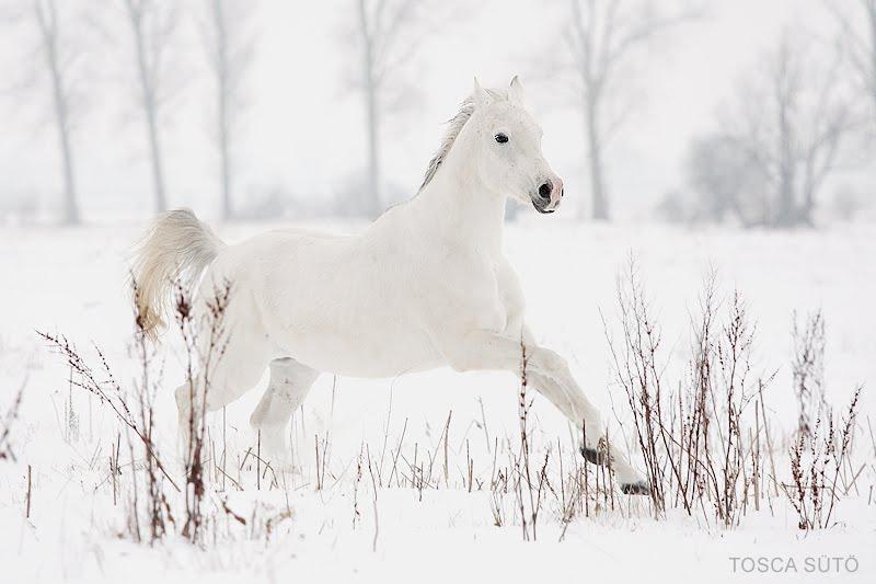 White Wolf Beautiful White Horses Mythology Photos