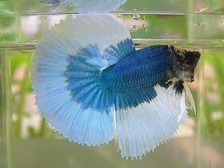 gambar ikan cupang biru putih