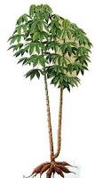 tanaman serbaguna dari akar sampai kedaun