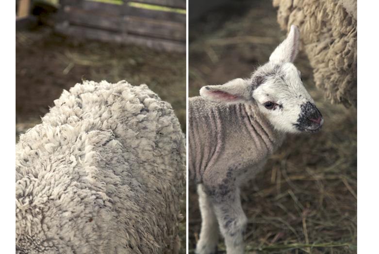 agneaux- laine mouton