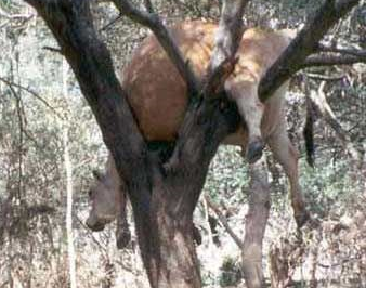 funniest picture: Cow on a branch