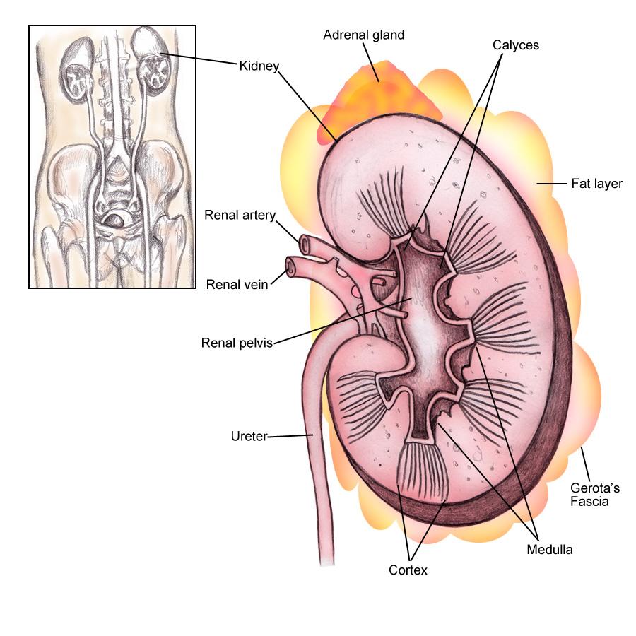 kdney anatomy | blogger uni doctors