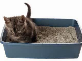 Cara Mencuci Pasir Bekas Kotoran Kucing Persia Anggora