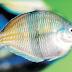 Mengenal Ikan Pelangi/Kaskado, Ikan Air Tawar Langka