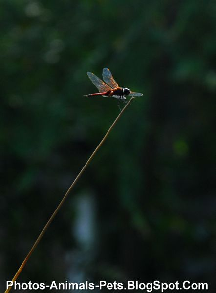 http://4.bp.blogspot.com/-5dZHvUT8Jhg/Ti2p1qZ6nCI/AAAAAAAAB0Q/2eGa7TcFZO0/s1600/Dragonfly%2Bpictures%2B_0001.jpg