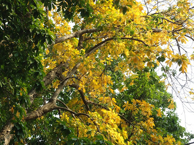 A beautiful tree with its yellow leavs