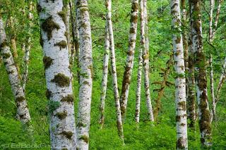 Red alder forest