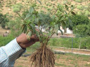 Stevia Roots