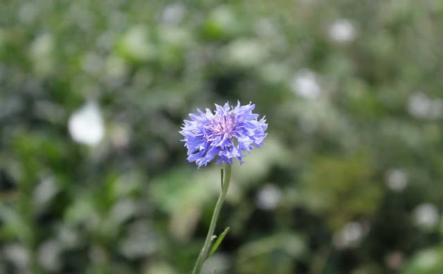 Cornflower Flowers Pictures