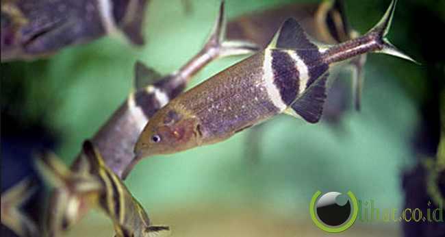 Ikan Paling Pintar di Dunia