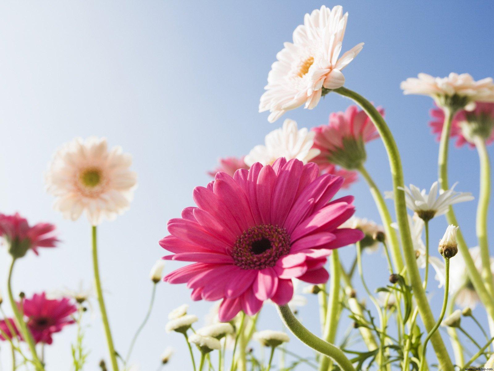 Free Flowers Desktop