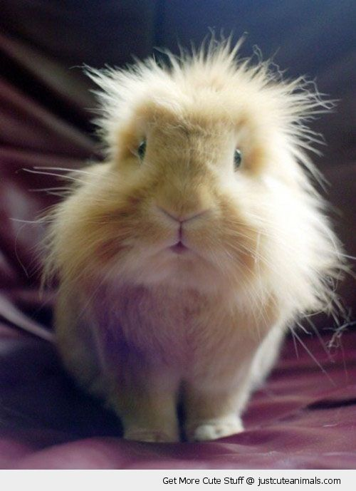 http://justcuteanimals.com/wp-content/uploads/2012/12/cute-animals-fluffy-spikey-hair-guinea-pig-pics.jpg