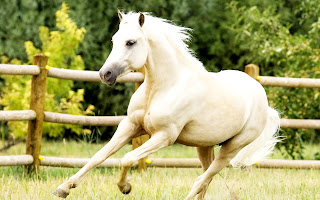 White Horse Running HD Wallpaper