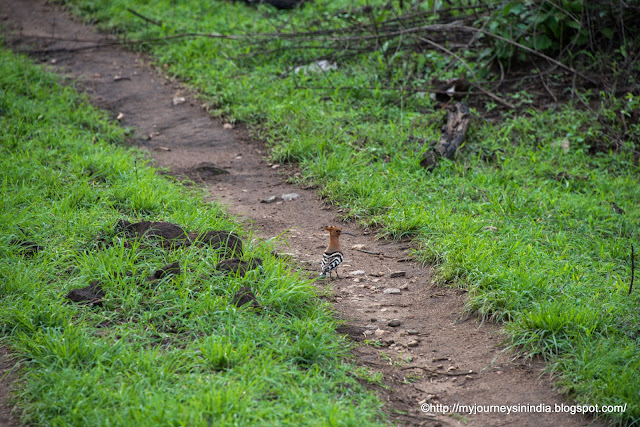 Hoopoe Bandipur Forest