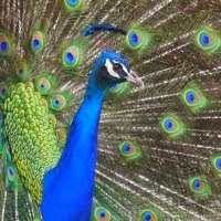 my peafowl blog