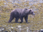 Grizzly in Alaska in 2012