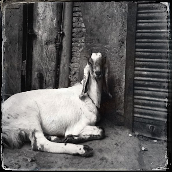 Goat in old Delhi market © Connie Gardner Rosenthal