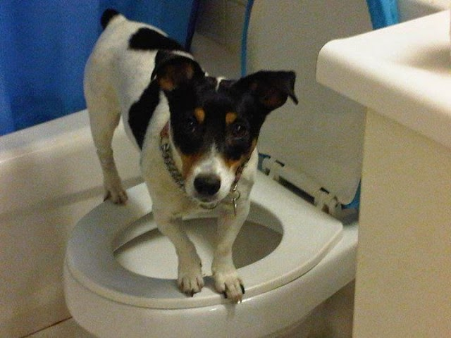 Train Dog Standing Toilet