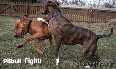 Pitbull Terrier Dogs