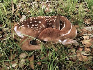 deer,animal,baby