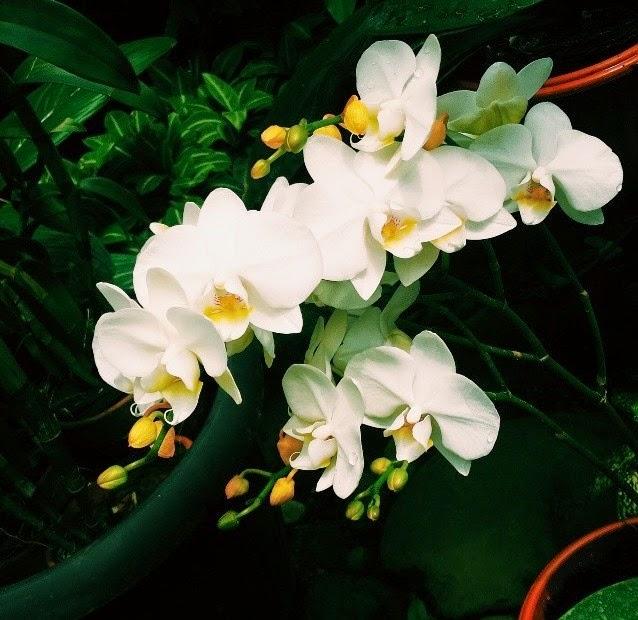 Tips Merawat Bunga Anggrek Bulan