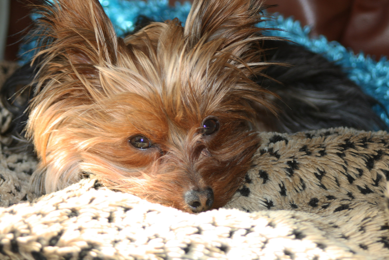 Image Result For Can A Yorkie