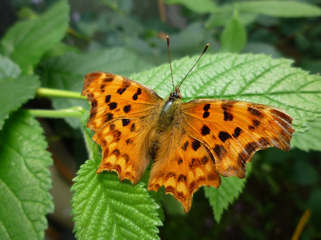 Comma Nettle butterfly via lovebirds vintage