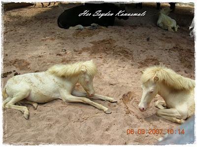Albino atlar