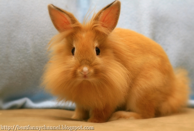Auburn rabbit