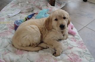 Golden retriever puppy, 7 weeks old.
