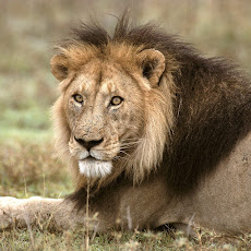 lion picture Seen On www.coolpicturegallery.us